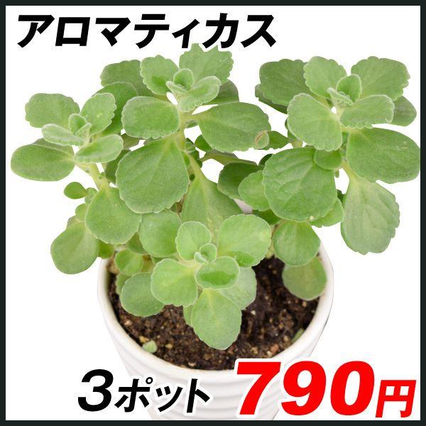 花苗 多肉植物 アロマティカス