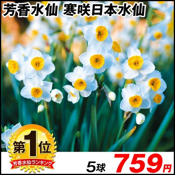 寒咲日本水仙