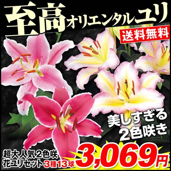 超大人気2色咲花ユリ