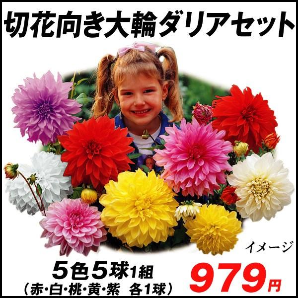 ダリア 切花向き大輪セット_価格