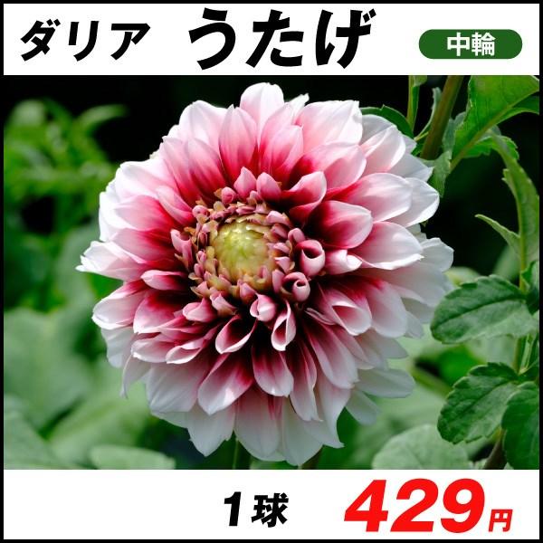 おすすめダリア-うたげ_価格
