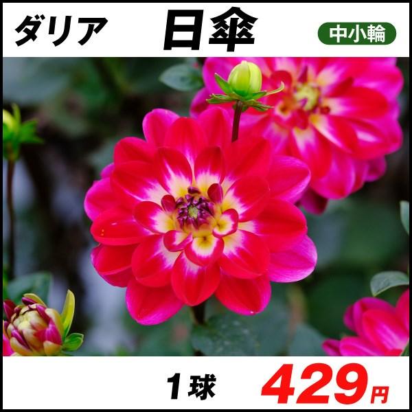 おすすめダリア-日傘_価格