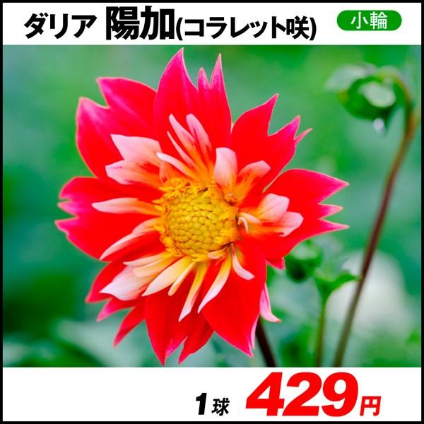 おすすめダリア-陽加_価格