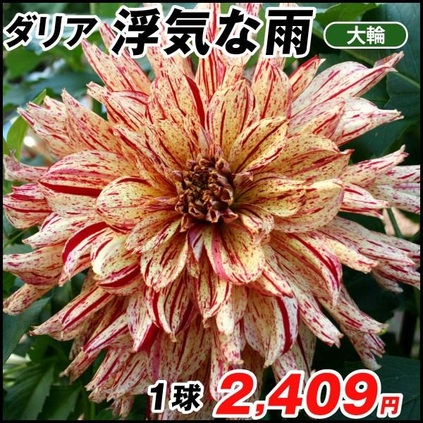 鷲澤氏ダリア-浮気な雨_価格