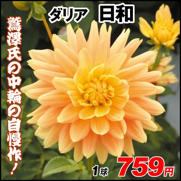 鷲澤氏ダリア-日和_価格