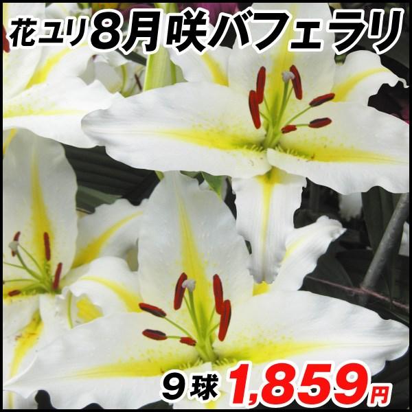 8月咲ユリ-バフェラリ_価格