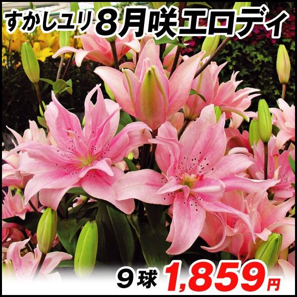 8月咲ユリ-エロディ_価格