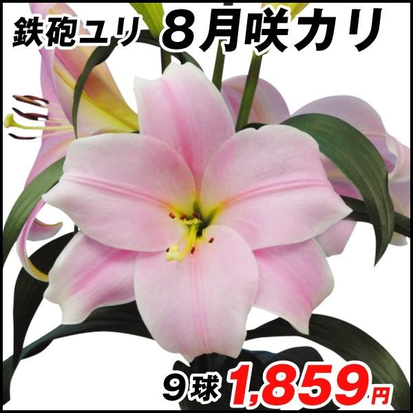 8月咲ユリ-カリ_価格