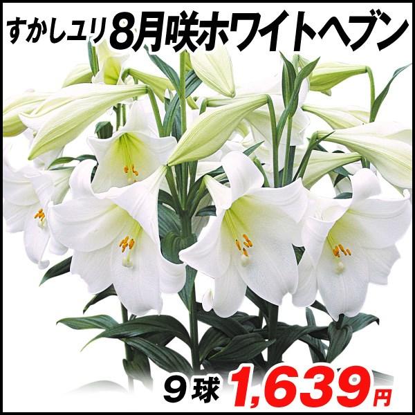 8月咲ユリ-ホワイトヘブン_価格
