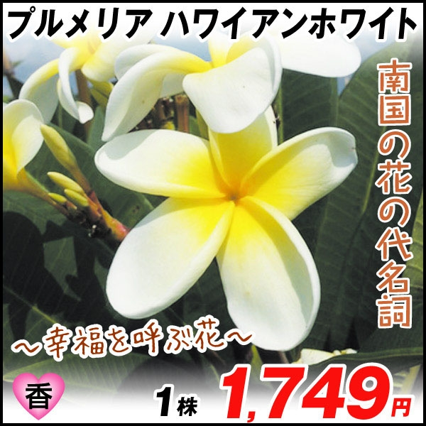 プルメリア ハワイアンホワイト