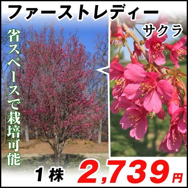 桜 ファーストレディー