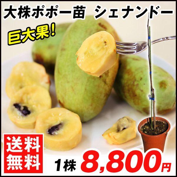 ポポー・大株シェナンドート