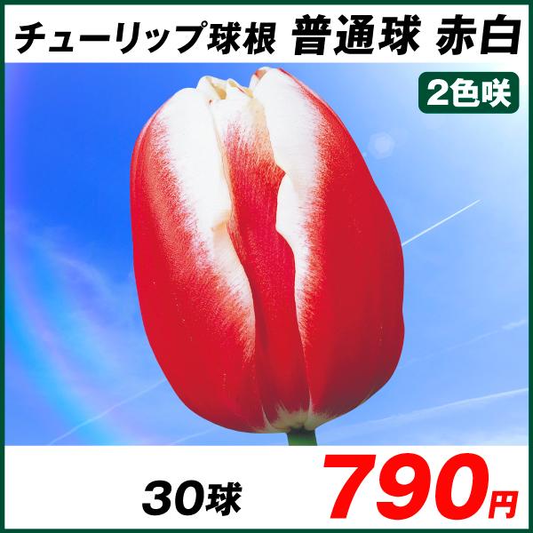 普通球チューリップ 赤白2色咲 30球