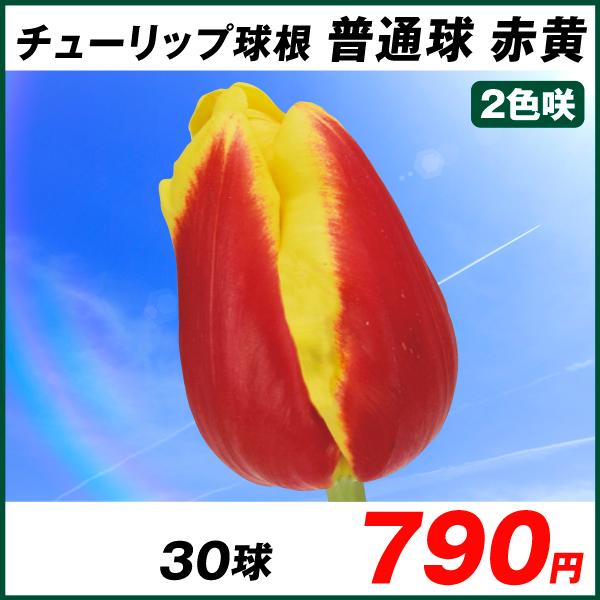 普通球チューリップ 赤黄2色咲 30球