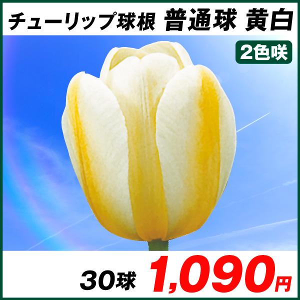 普通球チューリップ 黄白2色咲 30球