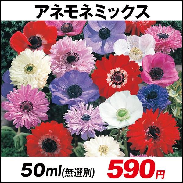アネモネ ミックス (無選別) 50ml