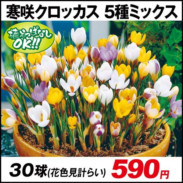 寒咲クロッカス 5種ミックス (花色見計らい) 30球
