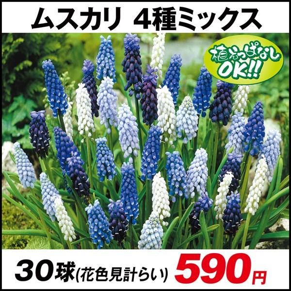 ムスカリ 4種ミックス(花色見計らい)