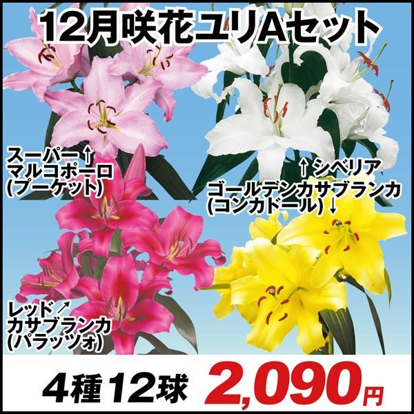 12月咲花ユリAセット 4種12球