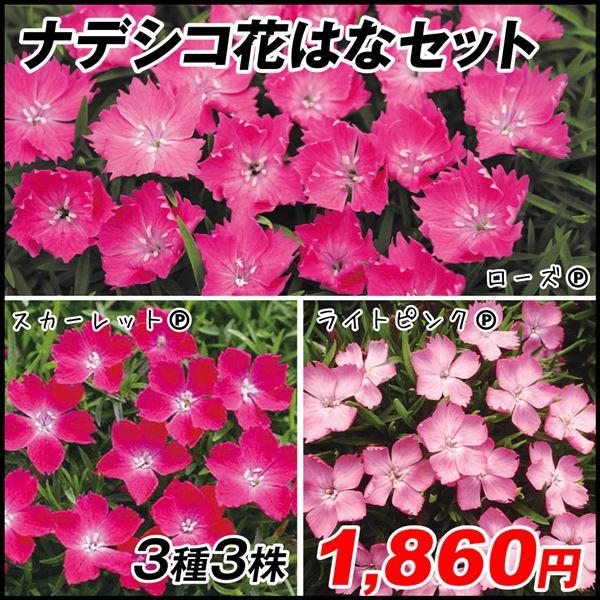 花苗 ナデシコ花はなセット