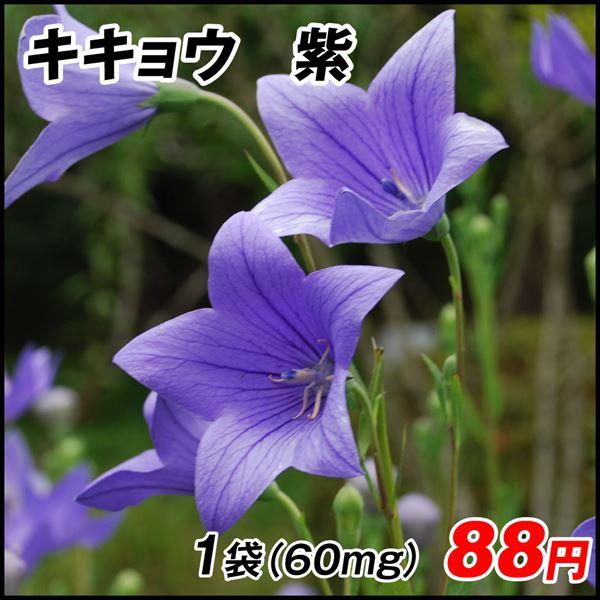 キキョウ 紫