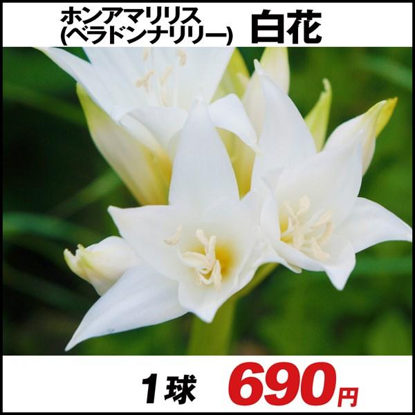 ホンアマリリス (ベラドンナリリー) 白花 1球