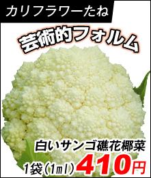 白いサンゴ礁花耶菜