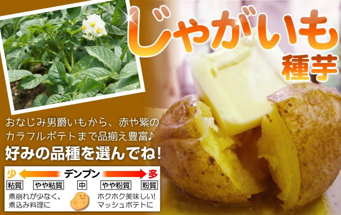 ジャガイモの種イモトップ