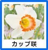カップ咲き