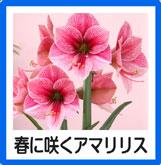 春咲くアマリリス