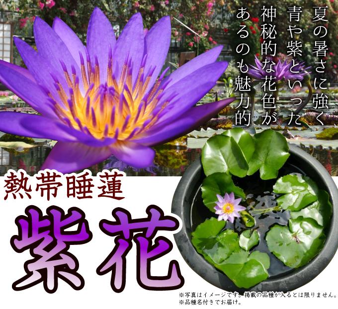 熱帯スイレン 紫花