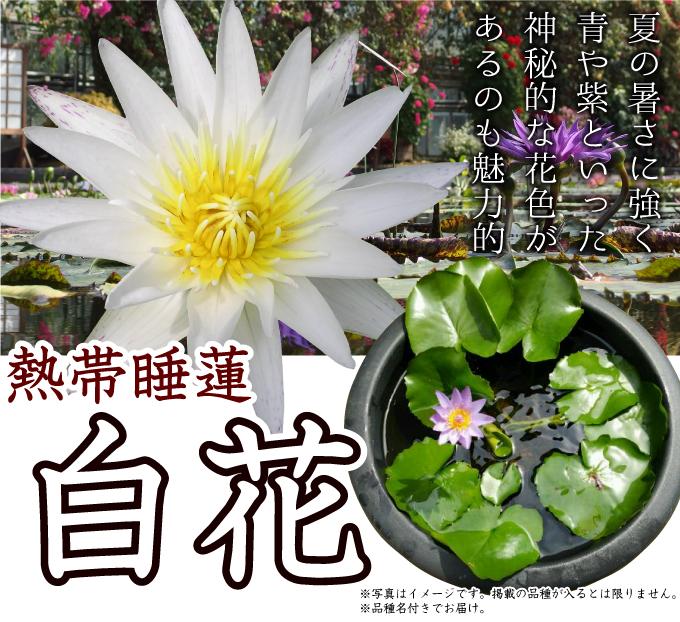 熱帯スイレン 白花
