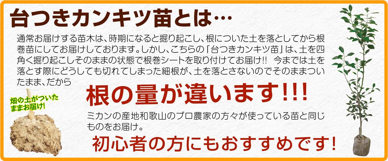 柑橘 台つき 苗木 蜜柑 2年生