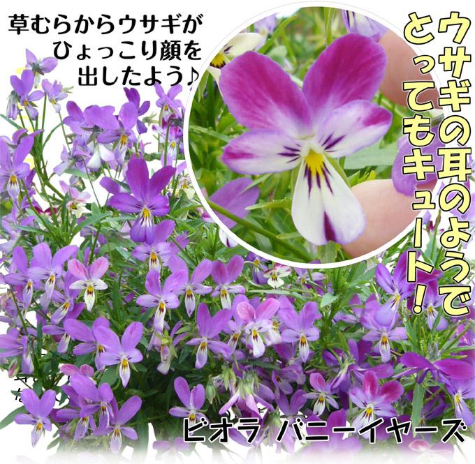 ビオラバニーイヤーズ001