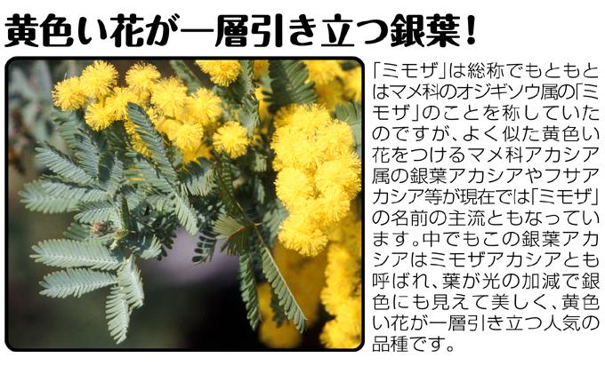 ミモザ 銀葉アカシア02