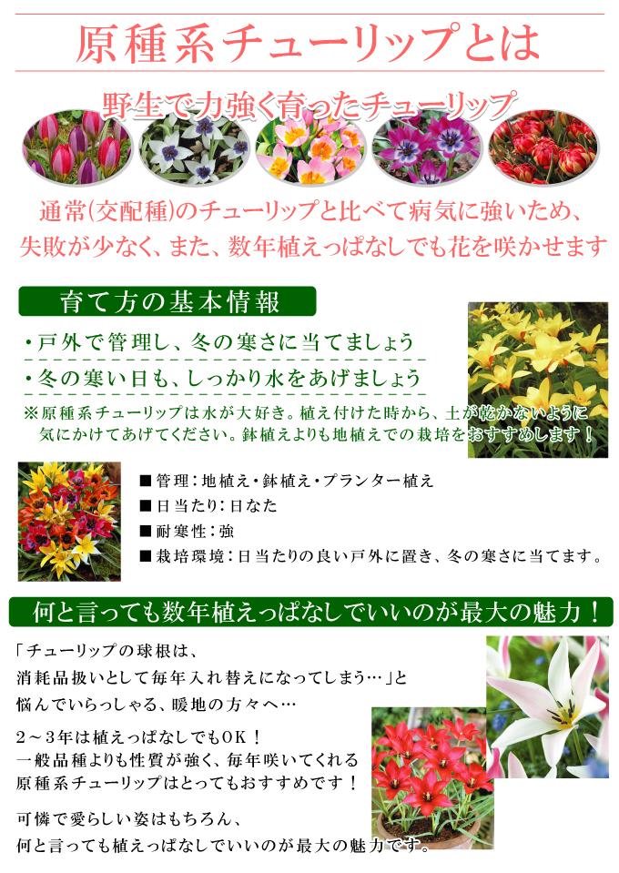 植えっぱなし 原種系チューリップ