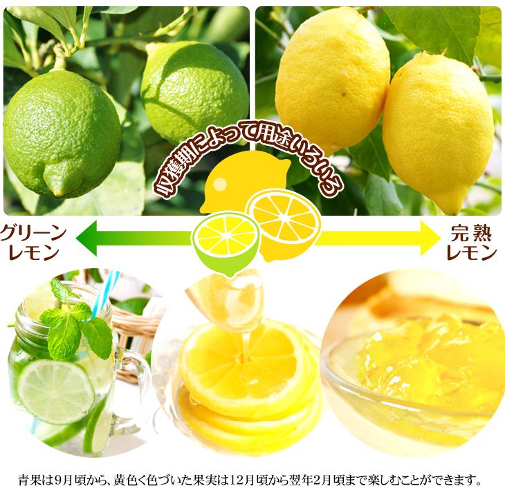 レモン 苗木 グリーンレモン