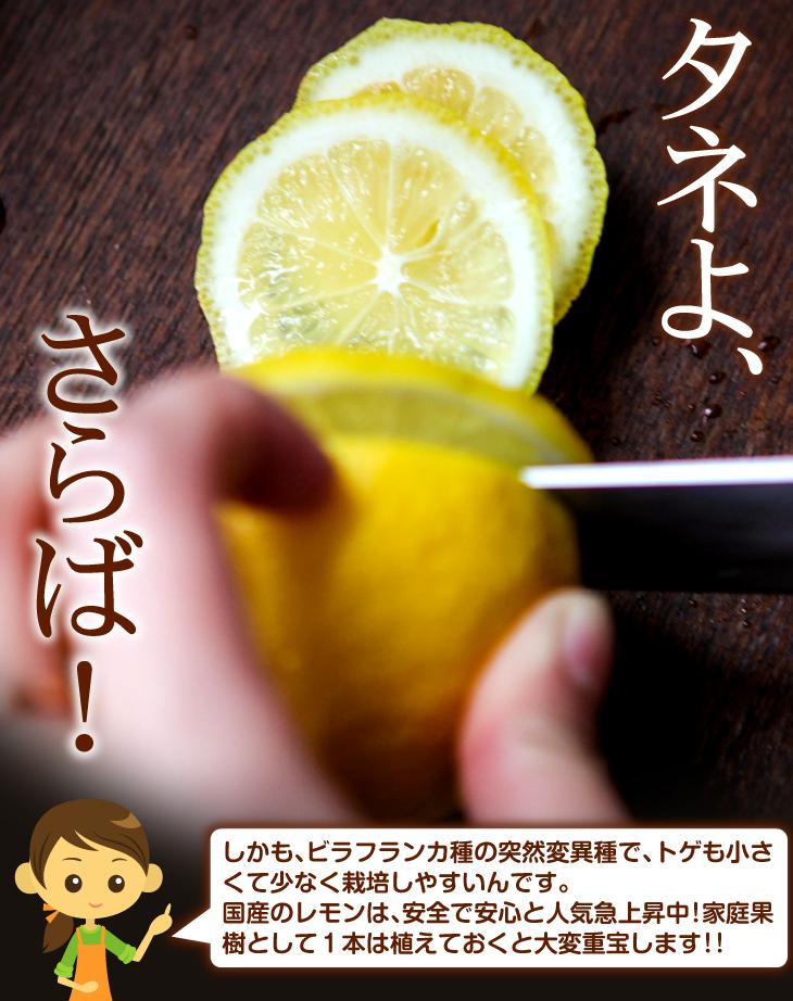レモン 苗木 シードレスあや タネなし