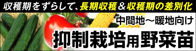 抑制栽培用野菜苗