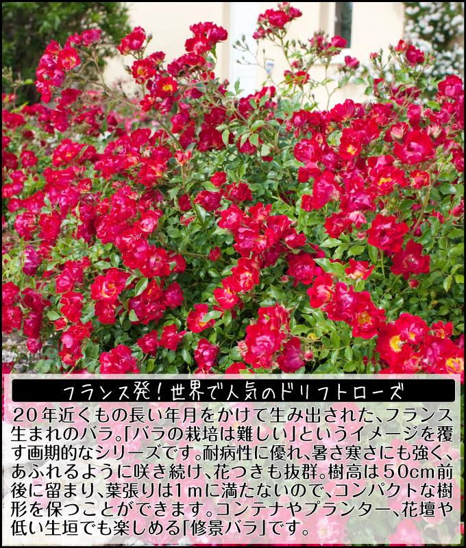バラ ドリフトローズ4