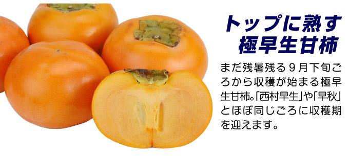 完全甘柿の苗 輝太郎 極早生