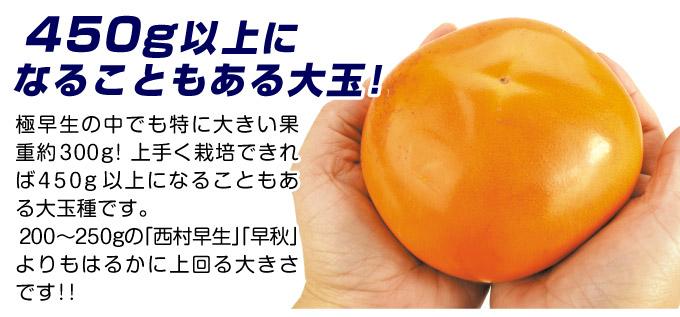 完全甘柿の苗 輝太郎 大玉