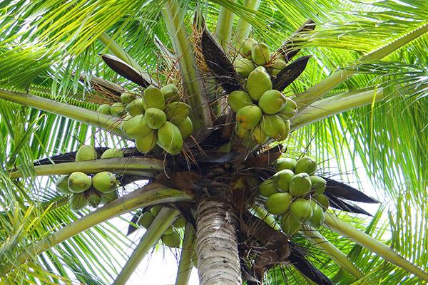 ココナッツオイルの秘密