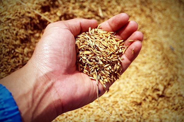手ですくった穀物