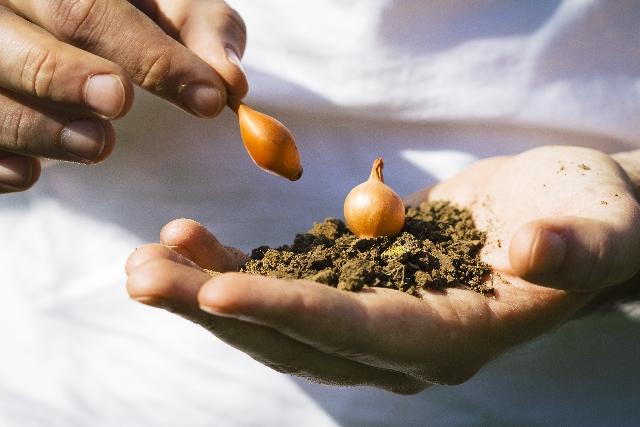 秋植え球根