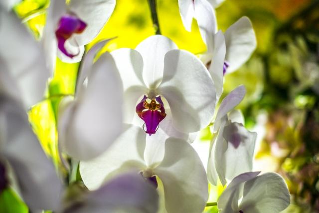 綺麗な胡蝶蘭