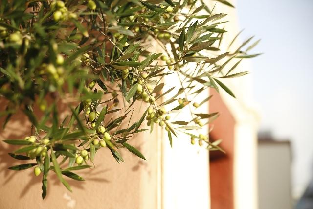 常緑果樹苗オリーブの育て方