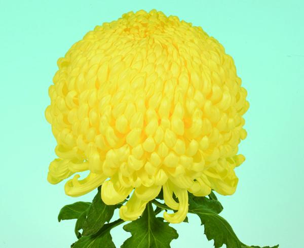 大菊の育て方