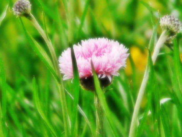 大菊を育てていこう