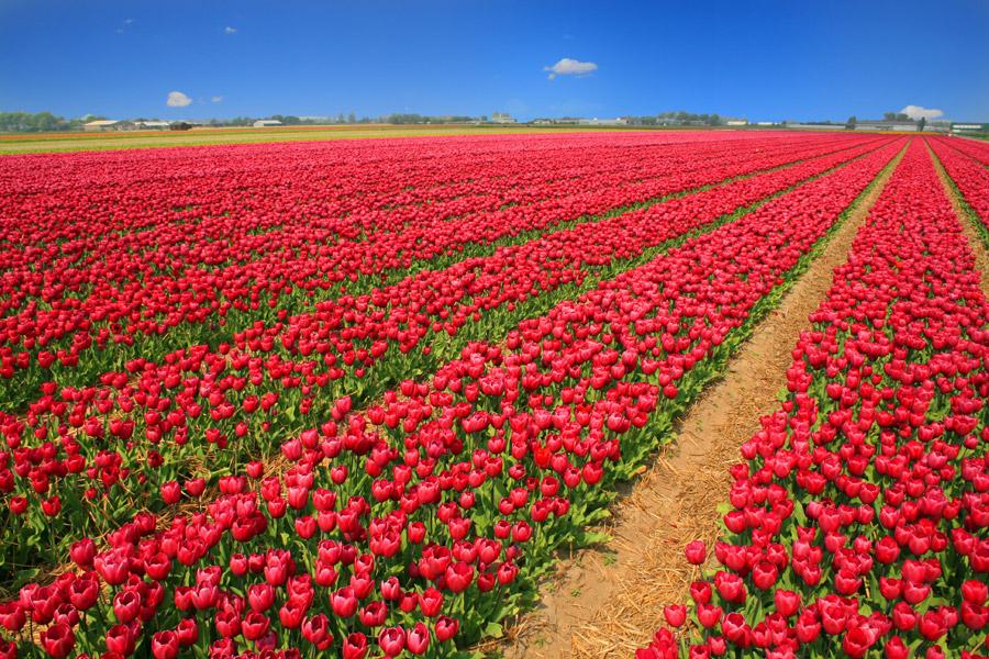 綺麗な赤いチューリップ畑の様子